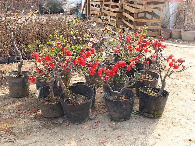 日本圆叶海棠盆景的组培快繁技术