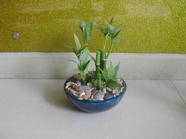 富贵竹盆景造型设计的方法 图片