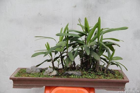 棕竹盆景怎么养护管理与观赏