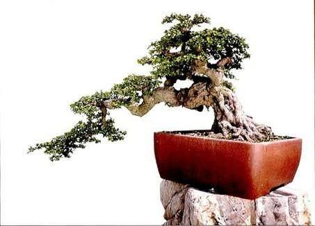 如何制作与养护福建茶盆景?