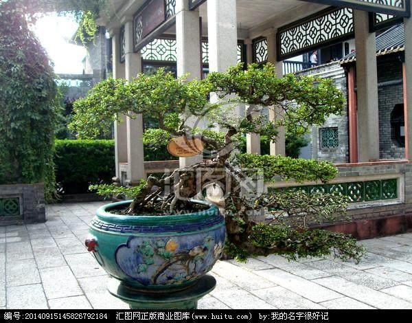 福建茶树桩盆景怎么造型设计的方法
