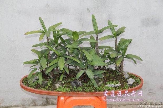 棕竹盆景在春季怎么分株繁殖的方法