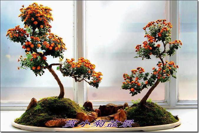 北京小菊盆景怎么分株移栽的方法
