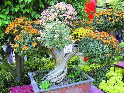 菊花盆景怎么制作与养护