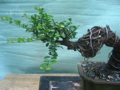 制作盆景露根生根的6个方法