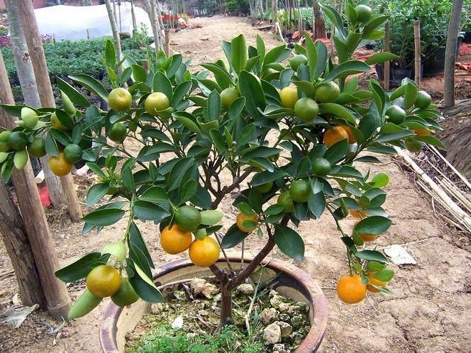 北方盆栽金桔的3个制作方法