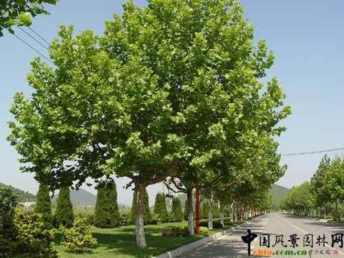 法桐大树怎样移栽的技术