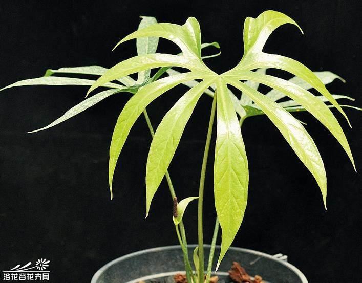 盆栽花烛怎么生根养护的方法 图片