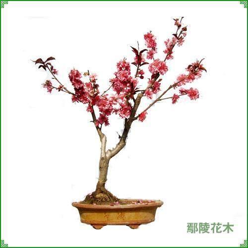 碧桃盆景在春季发芽前施肥1次就可以 图片