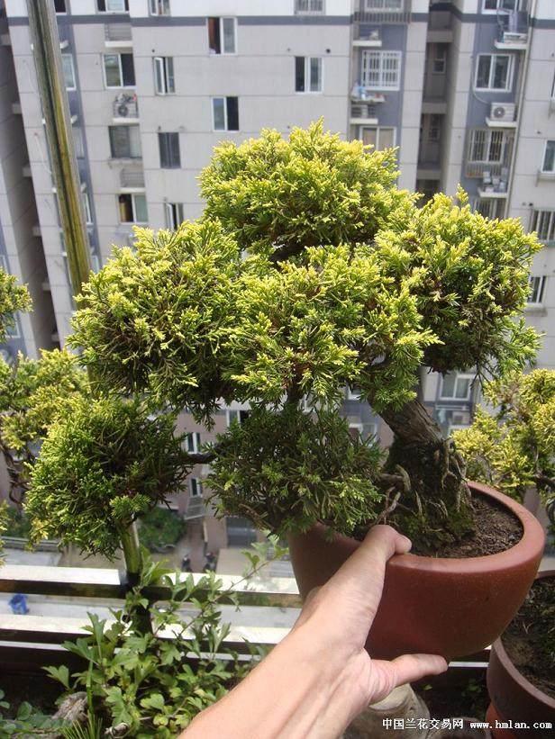 台湾盆友谈柏树盆景的制作方法