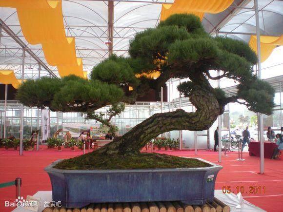 临近春节 盆景花木市场也渐成新时尚