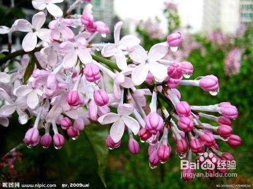 紫丁香老桩盆景怎么制作的方法 图片