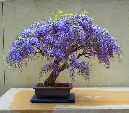 紫藤盆景怎样扦插 生根最好 图片