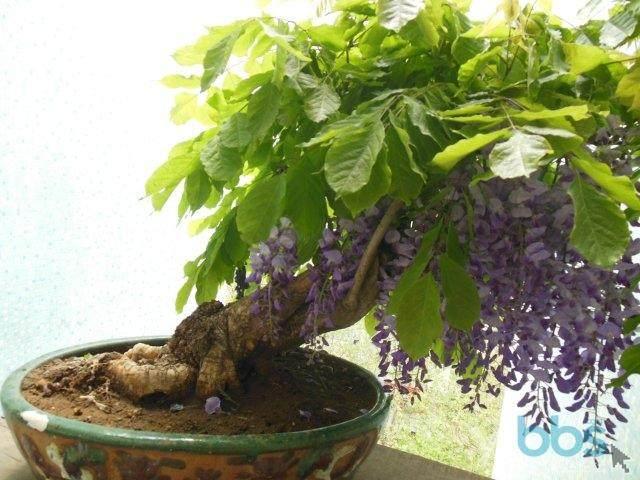 家里种植什么品种的紫藤盆景最适合