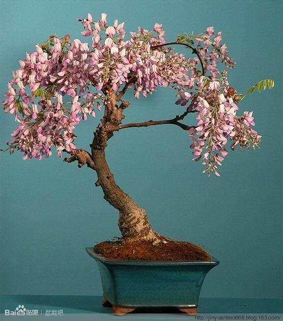紫藤盆景的几种栽培形式: