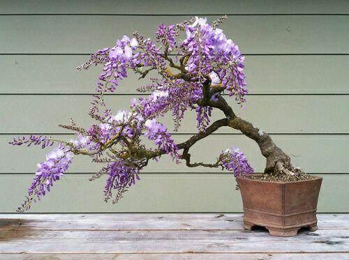 紫藤盆景为什么不开花?