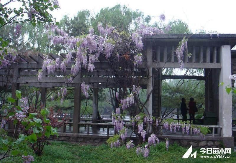 制作盆栽紫藤的的5个方法 图片