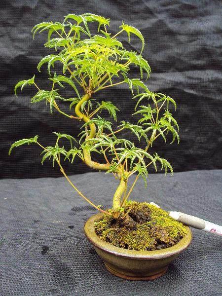槭树老桩盆景的观赏特征和应用