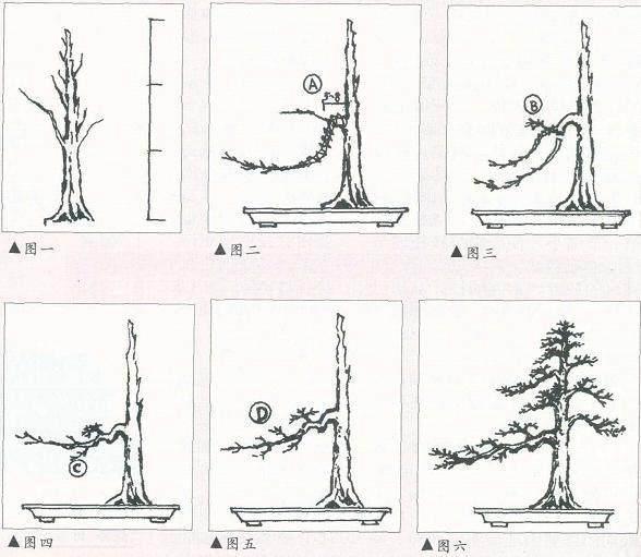 图解 怎么制作树木盆景的飘枝
