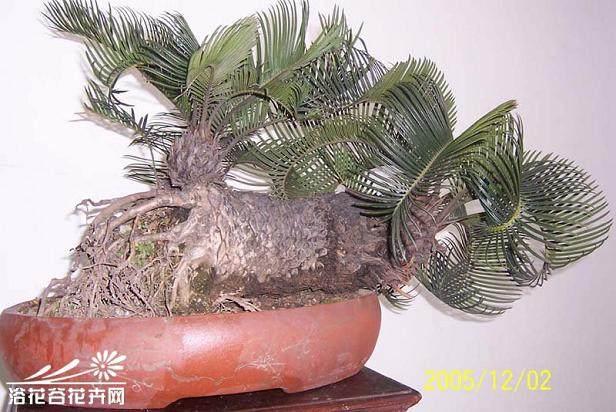 福建正宗铁树盆景的制法