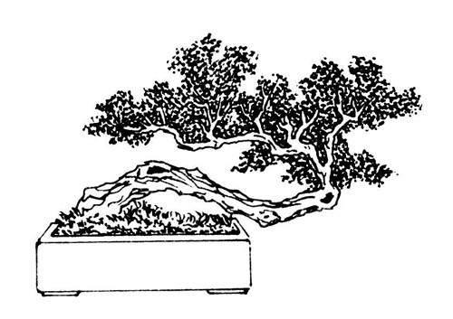 盆景作品的制作中的哪些方面能应用到黄金分割比呢?