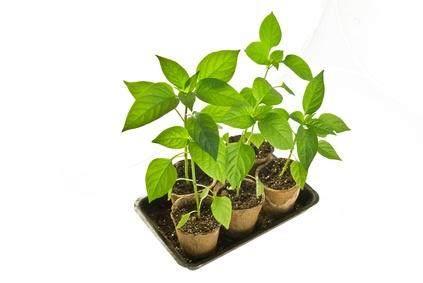 盆栽养不活 商家的土壤藏猫腻