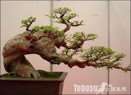 黄杨生桩盆栽怎么用土的配方