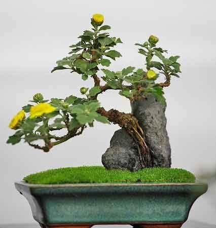 悬崖式小菊盆景制作