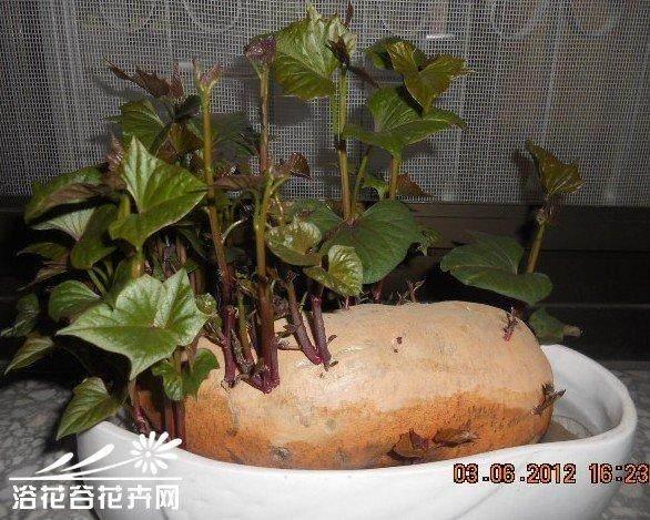 红薯盆景怎么速成的6个方法