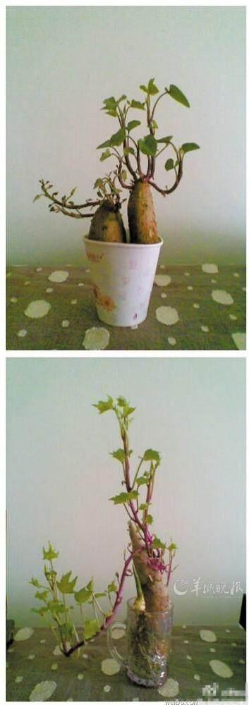 红薯小盆景怎么制作发芽的方法 图片