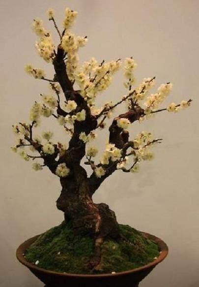 冬季如何养护腊梅的盆景