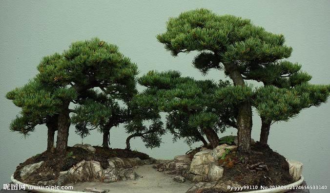 五针松盆景应如何加工造型?