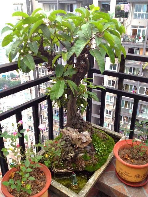 黄桷树可以盆栽吗?