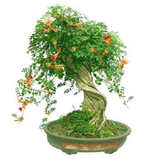黄葛树可以做盆景