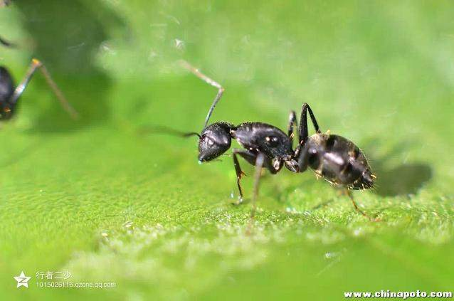 小叶罗汉松盆景中有蚂蚁怎么办?