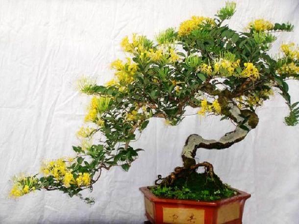 春季金银花盆景的4个修剪技术