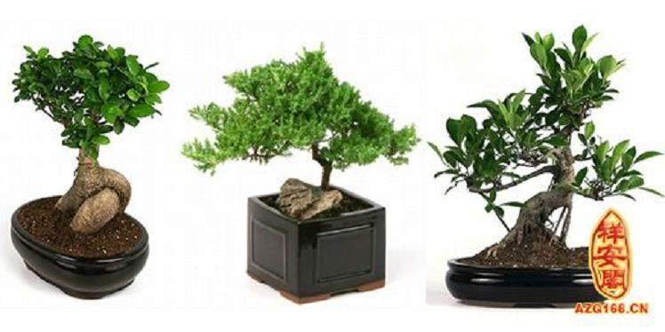 办公桌榕树盆景怎么养护的5个方法