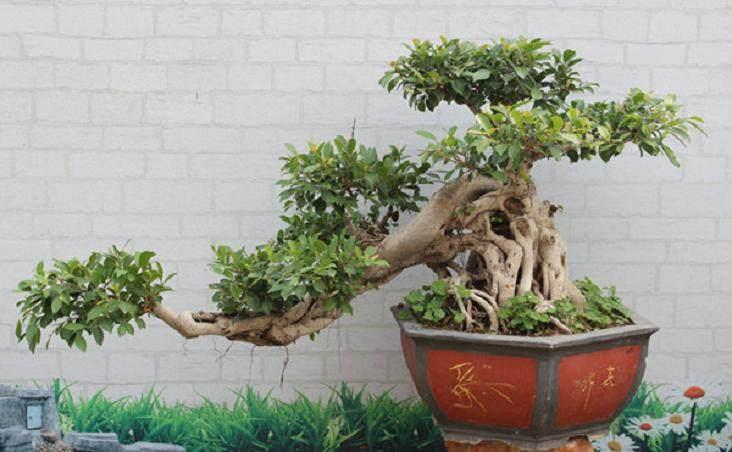 榕树盆景在夏季掉叶的3个原因