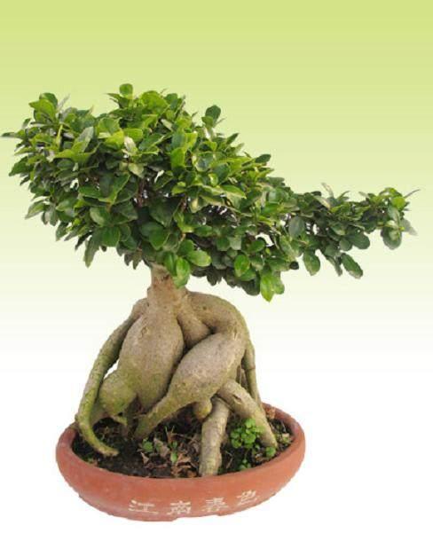 春天榕树盆景怎么养?