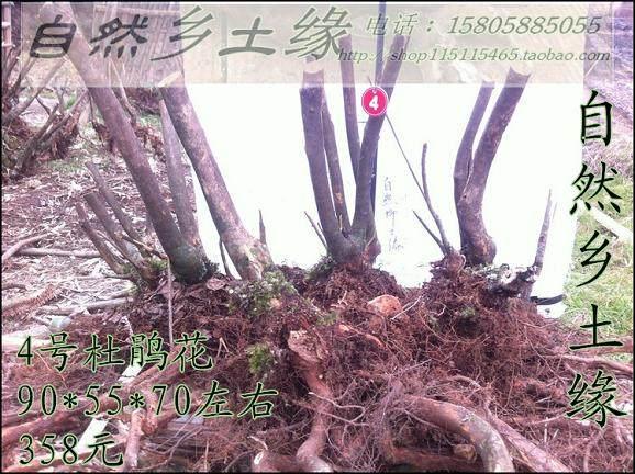 杜鹃下山桩生桩 如何养护发芽 图片