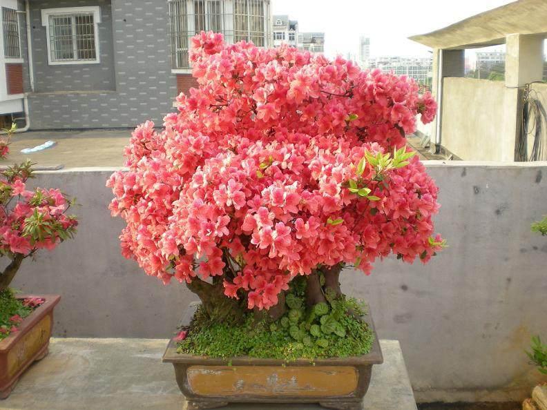 映山红和赤楠长在一起的盆景看到过没有