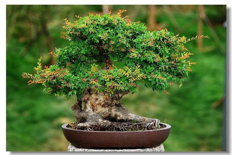 榆树下山桩培育的3个注意事项 图片