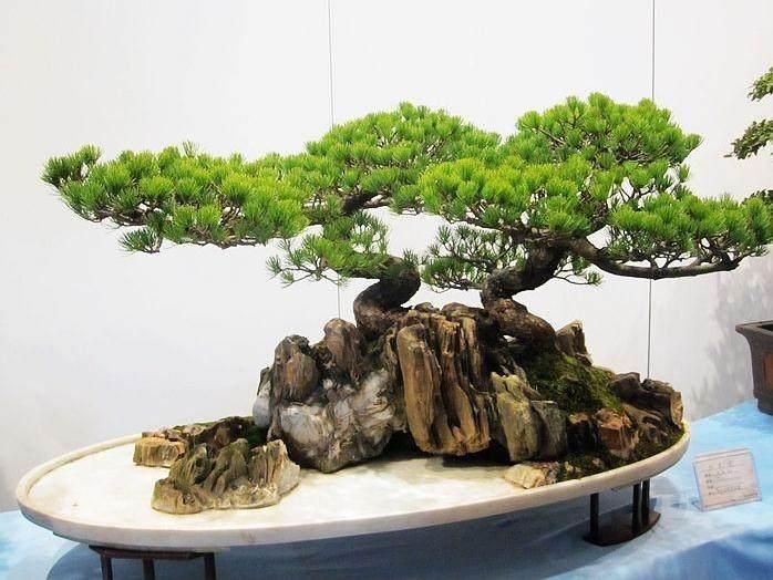 2013苏派盆景双年展将于9月20日苏州开幕
