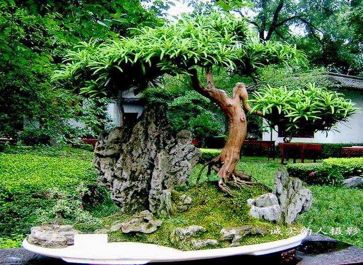 2013川派盆景展览 今日在成都百花潭公园举行