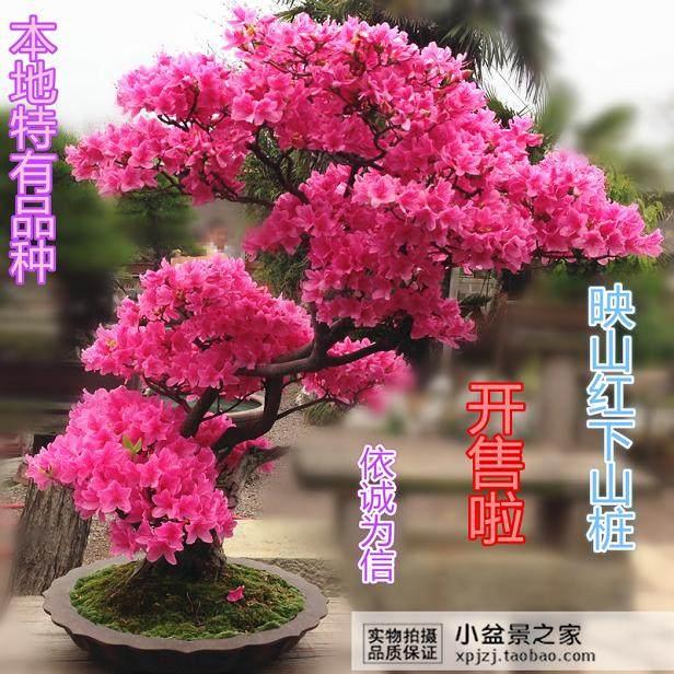 莫愁湖的花卉馆正在举办杜鹃花盆景展
