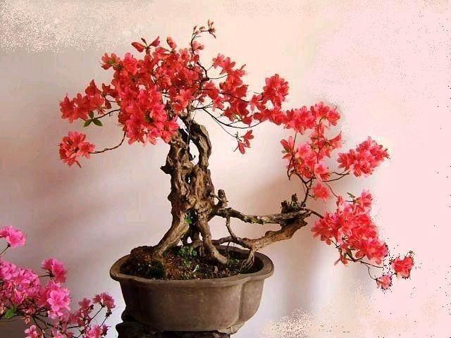 2010中国嘉善杜鹃花盆景展