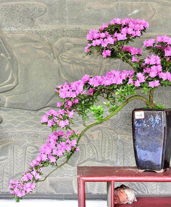 日本原生杜鹃盆景展在上海举办
