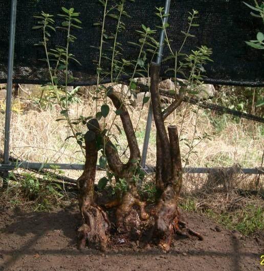 清明映山红下山桩生桩栽下后 何时发芽