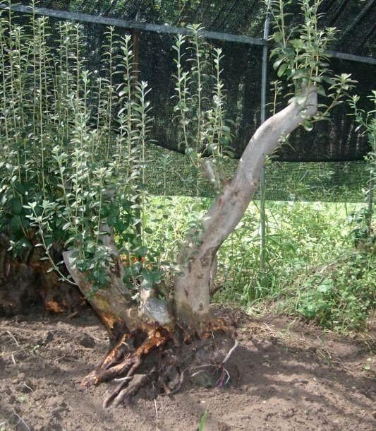 映山红熟桩下山桩移栽需要摘叶吗