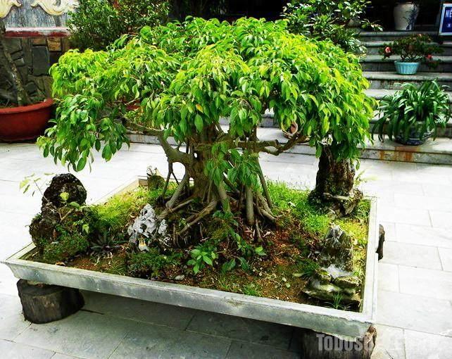 榕树盆景放家风水有大小之分吗